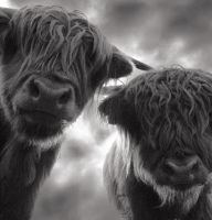 highland cattle 2 by mahomo by PhotoPurist
