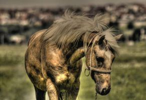 horse hdr by iacobvasile