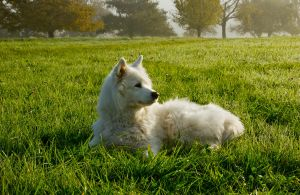 White dog 4 by archaeopteryx-stocks