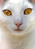 White cat Crop by Very-Free-Stock