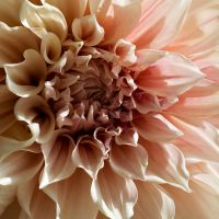 Dahlia by Hand-In-Mine