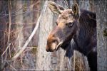 Portrait Of A Moose by Sarah--Lynne