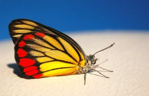 BUTTERFLY by ratulangi