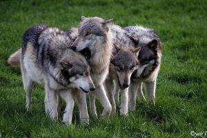 wolf pack by Yair-Leibovich