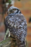 Northern Hawk-Owl by Saromei