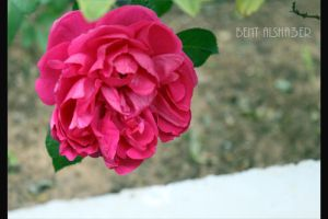 rose06 by B-Alsha3er