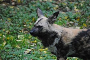 African Wild Dog by DeathCults