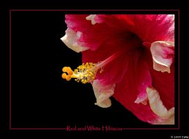 Red and White Hibiscus by ewm