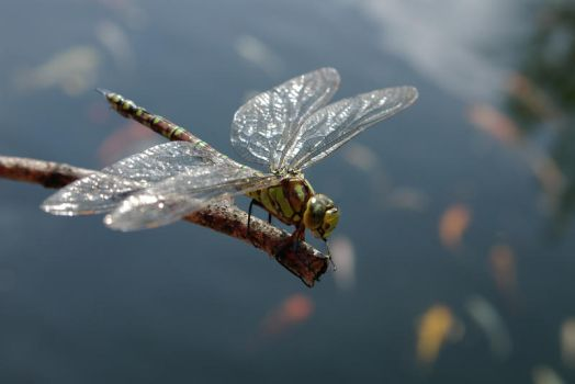 Drying Dragonfly by Basjee