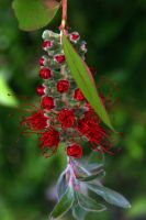 - Bottlebrush in Bloom - by kit-103