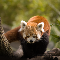 Red Panda by equilibrium86