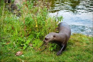 Giant Otter 246-10o by mym8rick