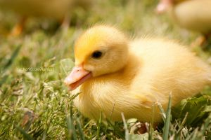 Baby Duck by Nicho90