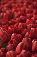 Red Tulips by tsugami