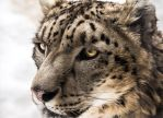 Snow Leopard Close-up by OrangeRoom