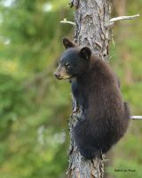 Bear Cub 1 by Les-Piccolo