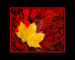 Yellow Maple and Red Leaf Bush by houstonryan