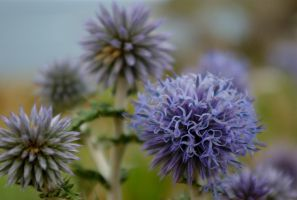 thistle by n0vember