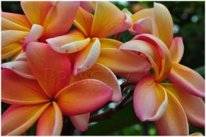 Pink+Yellow Flowers by Decode-That