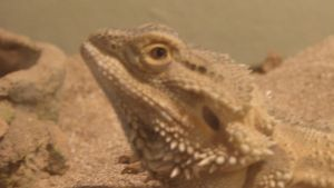 Kaida the bearded dragon by AlienLifeDetected