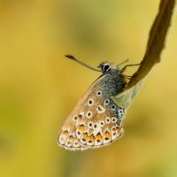 Polyommatus icarus 7 by Witoldhippie