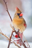 .:Lady Cardinal:. by RHCheng