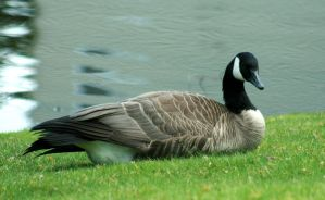 Goose I by IQuitCountingStock
