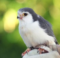 Pygmy Falcon by rainylake
