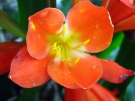 Orange Flower by my-dog-corky
