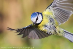 Blue Tit flying by javierherrera86