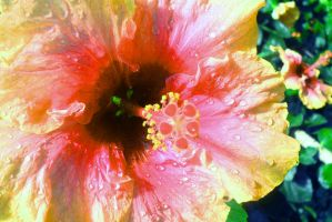 Hibiscus by Jed029