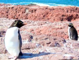 Rockhoppers penguins by Cansounofargentina