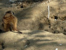 Meercat 3 by my-dog-corky