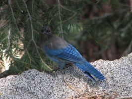 Steller's Jay 2 by ShadowsStocks