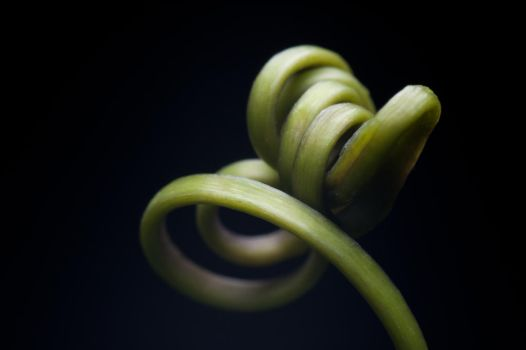 Passion Fruit Curl by LtSniper