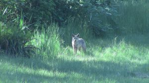 Coyote in the Backyard by MogieG123