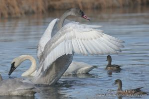 Swans 2 by JWFisher