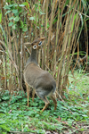 Kirks Dik-Dik Stock 11 by Jaded-Night-Stock