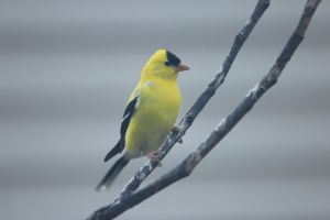 Glorious Goldfinch by Laur720