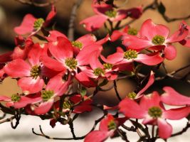 PinkDogwoods for Chris by davincipoppalag