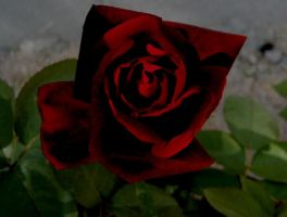 Another Black Rose Born by TrinityisMyGoddess