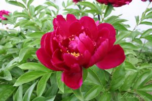 Peonies 2 by Loulou13