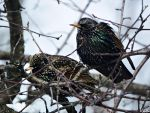 European Starlings. by Sparkle-Photography