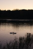 Evening swans by perost
