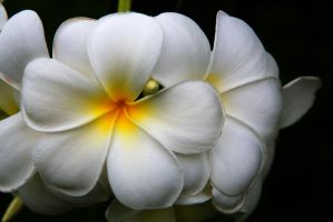 White Plumeria Flowers by TomFawls