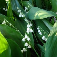 Lilies of the Valley Flowers by FantasyStock