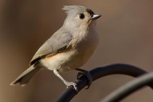 Tufted Titmouse 3 by bovey-photo