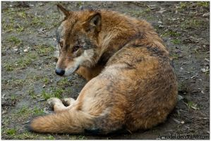 The Wolf With Sad Eyes by amrodel