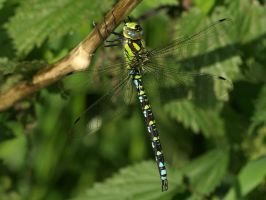 September 14th Southern Hawker 2 by Taliesin-Neonblack