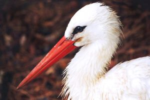 white stork profile by mishkuu